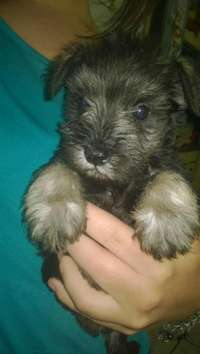 Image of Beautiful Schnauzer puppies for sale salt and pepper color.