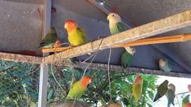 Selling Lovebirds with big cage