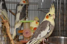 Супер попугай корелла нимфа - птенчики