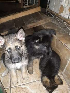 German Shepherd Puppies (Dogs)