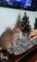 Вислоухий кремовый кот Буржуй ждет невест
