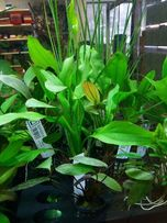 Żabienica Żabienice Echinodorus różne odmiany koszyczek - Adamiak-ZOO