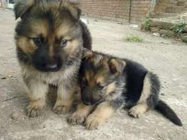 german shepherd puppies 10 weeks