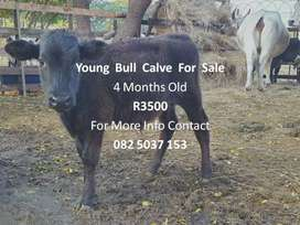 Young bull calve for sale