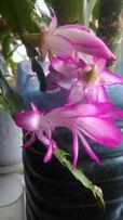 Рождественик шлюмбергеры цветок комнатное