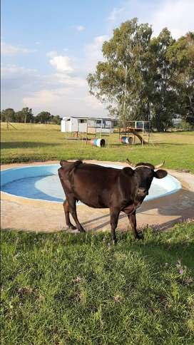Dexter Cows for Sale