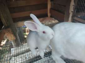 New Zealand White Rabbits and Brown FOR SALE