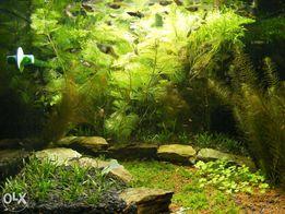 GB kabomba zielona /czerwona roślina akwariowa
