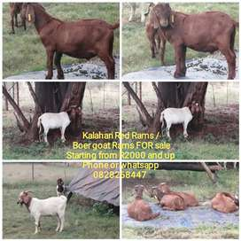 Kalahari Red Rams /Boer goat Ram FOR sale at Tshwane Livestock.