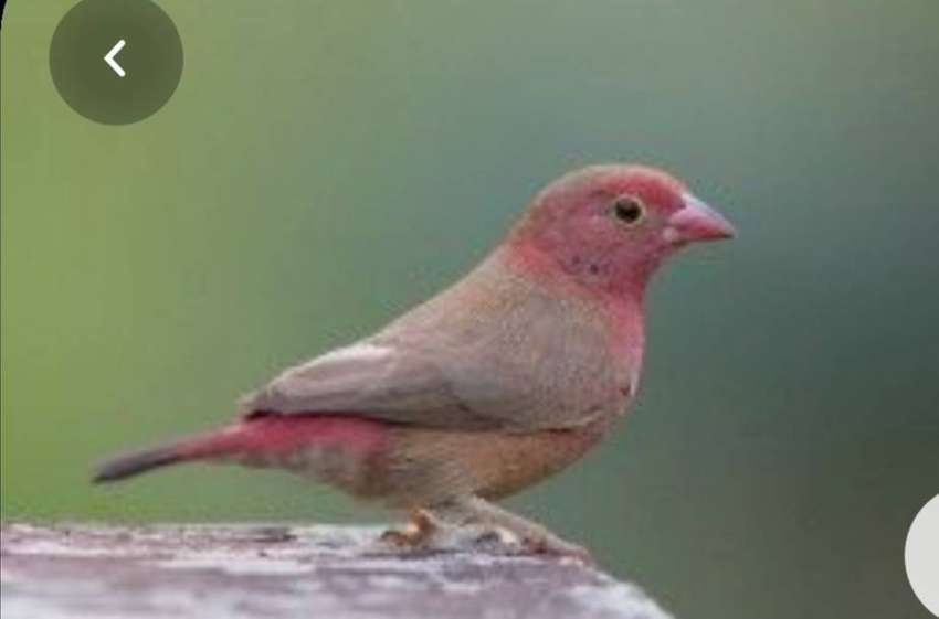 Looking for 2 x fire finches females ( hens)