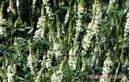 Донник белый однолетний (буркун) семена 1 кг