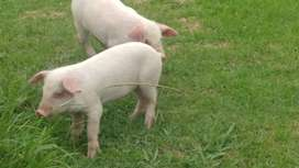 graded pigs for sale