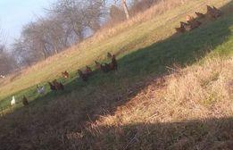 Jajka wiejskie. Kury z wolnego wybiegu. 70gr dowóz GRATIS