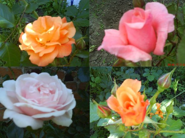 Саженцы Роз с бутонами