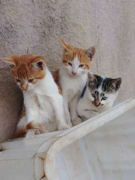 Domestic Shorthair kittens