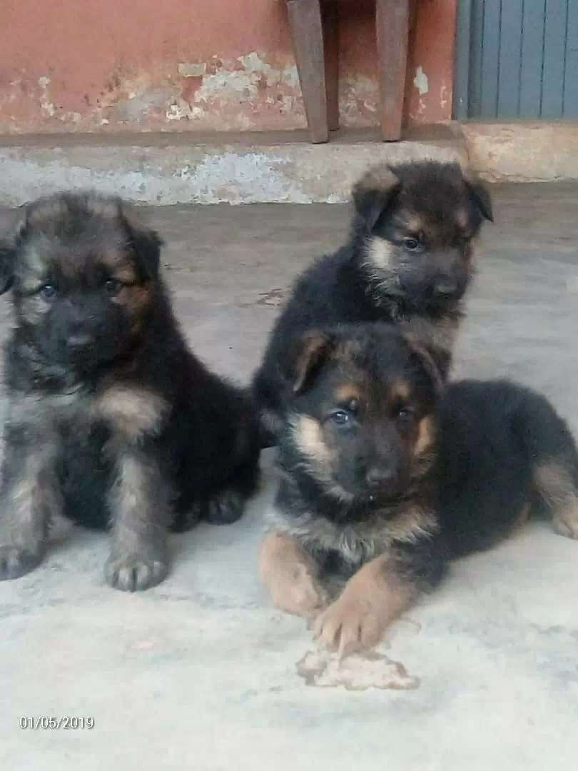 Shepherd puppies 0