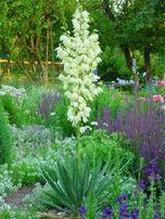 Юкка садовая (саженцы 2-3 года).
