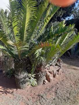 Cycad 150 plants for sale
