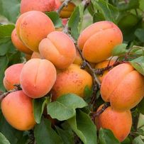 Оптом саженцы слив,персика,абрикоса,вишни,черешни гарантия сортности