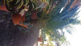 Cycas over 20 years old for sale
