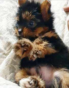 Yorkshire terrier ( pure bred )