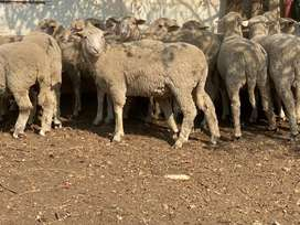 Hammels Merino sheep for sale