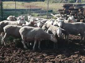 SPECIAL! Dhow merino  sheep Ewes at R1600 each