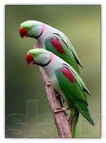 Александрийский попугай по смешной цене!!!