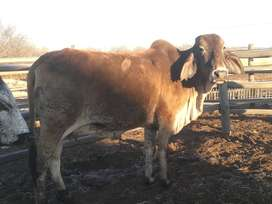 3 cows for sale