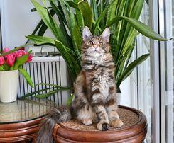 Котенок Мейн-кун,девочка Гера, шоу класс, лучший котенок с окота!