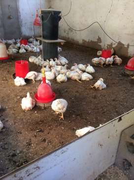 Broiler chickens for sale
