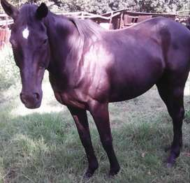 Stunning black Thoroughbred for sale