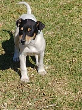 Fox terrier male puppy for sale