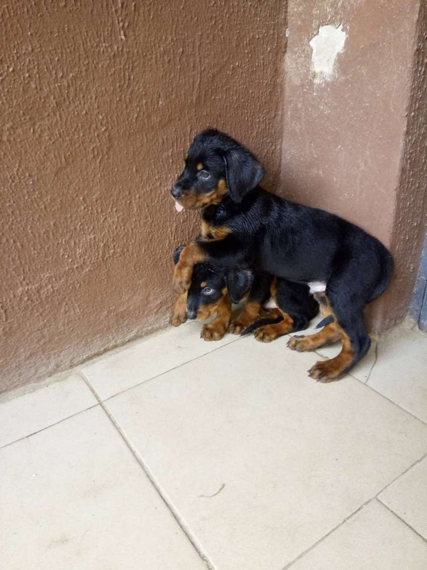 Male rott puppies 0