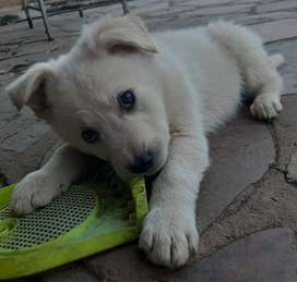 Husky x White Shepherd Puppies