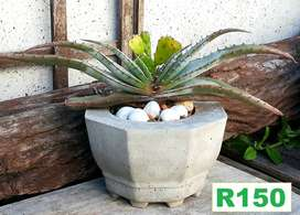 Stunning choice of potted plants for sale . Pg 3. Bloubergsands