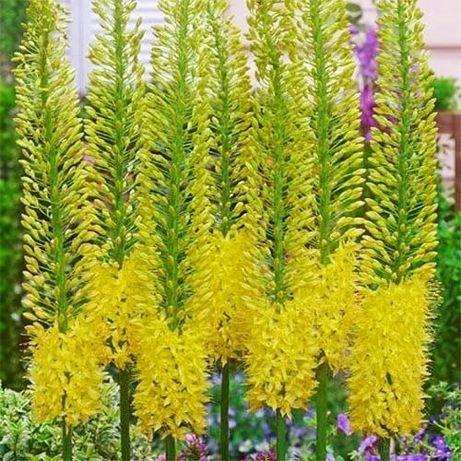 Цветок в палисадник Эремурус