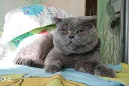 Вязка кот Опытный бритнец скотиш страйт ловелас приглашает .