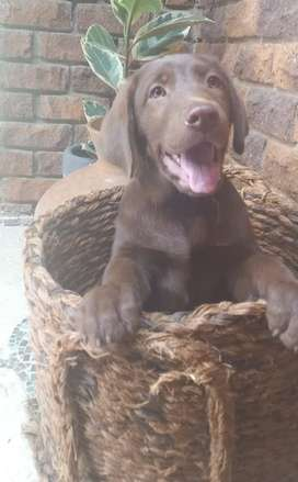 Chocolate Brown Labrador Puppies. Pedigree, KUSA register-able