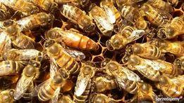 Matki pszczele ELGON / PRIMORSKA unasienione wysyłka 2019