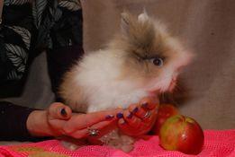 РАСПРОДАЖА кроликов. Декоративные карликовые кролики