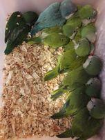 Ручной попугай калита