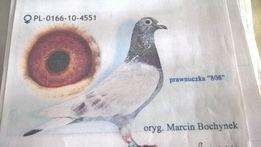 golebie pocztowe młode 18 rok 808