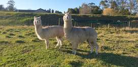 Alpacas for sale