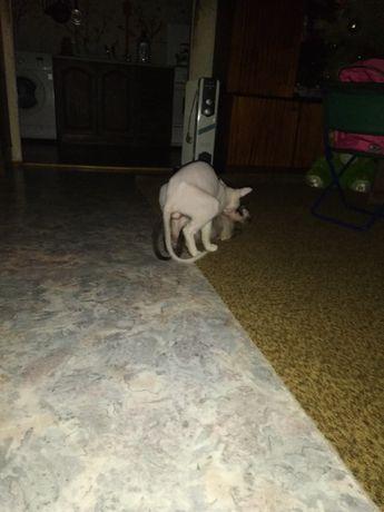 Канадский сфинкс. Ищу кошечку. Покотиловка - изображение 7
