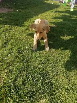 Labrador puppy for sale