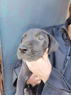 Great dane puppies looking for new home