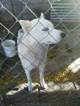 Pure breed husky gor sale