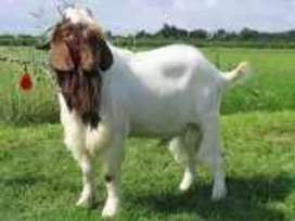 Looking for boer goat