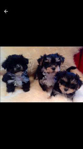 Yorkiz puppy for sale